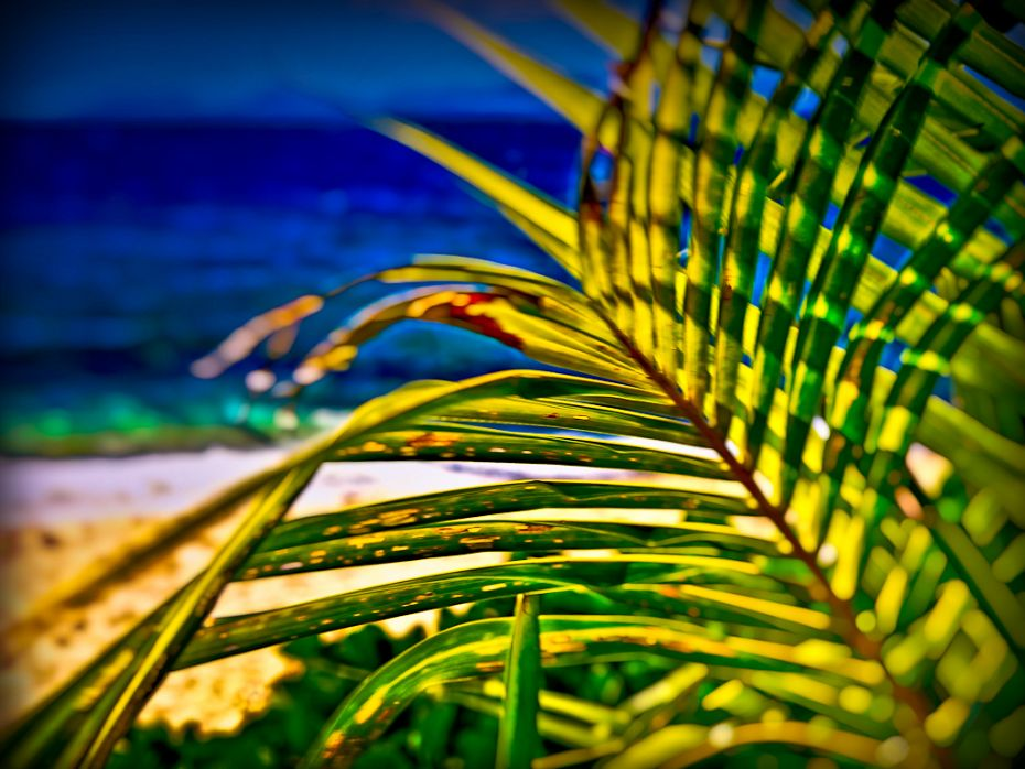 Fiji Palm Tree / Treasure Island / may 2011